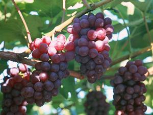 チリの特有ブドウ品種:カルメネ...