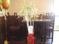開店祝いの観葉植物ドラセナトリカラー