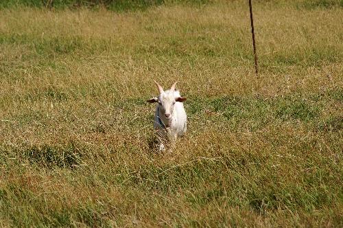 ヤギの画像 p1_21