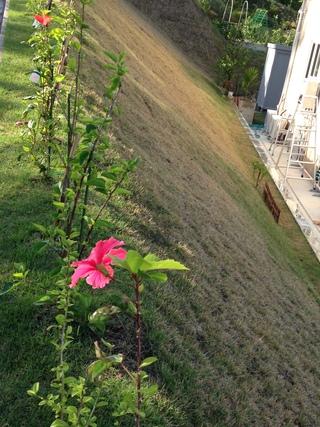 頑張って咲いているハイビスカス