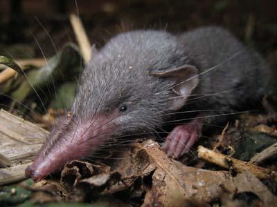 ジャコウネズミの画像 p1_4