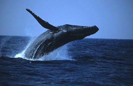 クジラの画像 p1_26